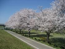 片の瀬公園の桜