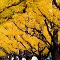 秋の銀杏の木