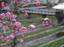 大王わさび農場の梅