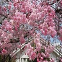 姫路城の桜2