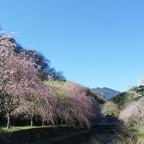 *長留のしだれ桜