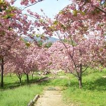 *【桜祭り】近くの城址公園内には、1,500本の桜があり、古くから「天下第一の桜」と言われています。