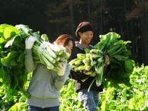 野沢菜収穫体験