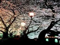 足羽川夜桜のライトアップ(桜のトンネルが見事です)