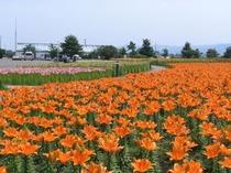 坂井市ユリの里公園、6月が見ごろ(当館より車で25分)