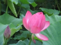 7月、花はす公園のはすの花(その大きさ美しさにうっとり)