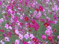 10月、風になびく宮ノ下公苑のコスモス