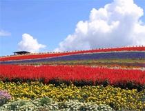 富良野お花
