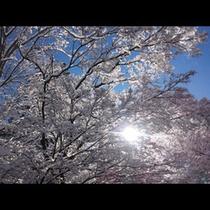 冬_桜のような雪