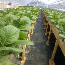 水耕栽培体験:収穫