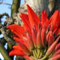 でいごの花(見ごろ:4月〜5月頃)