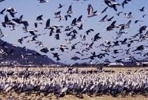鹿児島県出水市に飛来するツル