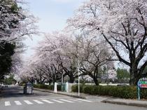 井頭公園入口の桜