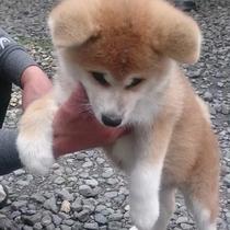 *秋田犬の温(はる)ちゃん。ふわふわの毛並みもポイント♪