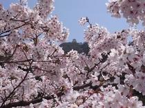 桜と岐阜城