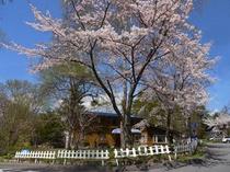 P.野の花の桜