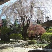 桜の時期の中庭。お越しの際は是非ご覧下さいませ。