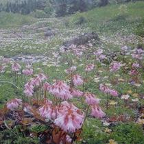 *【森吉山】「花の百名山」と呼ばれ、多くの高山植物が咲き誇ります。