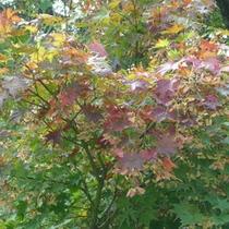*【森吉の紅葉】緑から赤に染まり、秋も深まります。