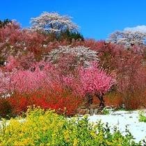 花見山公園爛漫