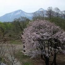 乙女沼の桜