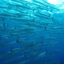 *ダイビングチームうなりざき:バラクーダの群れ