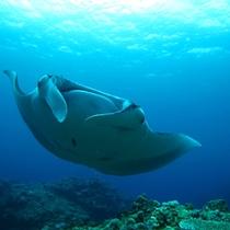 *世界最大のエイ「マンタ」も近海に生息。大人しく人なつこい性格で、ダイバーに高い人気があります。