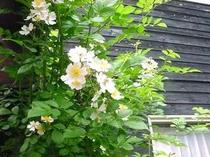 思いがけず、根性バラがア〜チになっています!