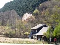 ログと山桜