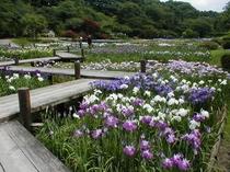 フラワーパークの花菖蒲園