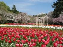 フラワーパークの桜チューリップ