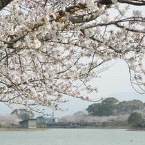 駕与丁公園 桜