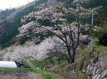 コテージ周辺の桜