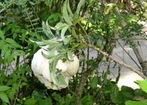 モリアオガエルの卵2