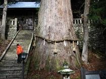 八方千年杉