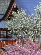 金櫻神社の桜