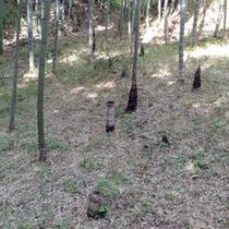*【周辺】春になると地中からそこかしこに竹の子が♪