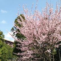 *【周辺】春には見事な桜の花をご覧いただけます。