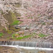 有馬川周辺の桜並木