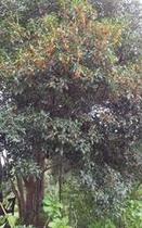 母屋の金木犀