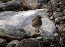 せせらぎを訪れる小鳥