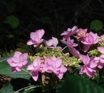 敷地内の紫陽花