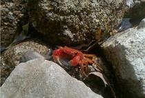 せせらぎで暮らす蟹