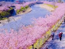 河津桜まつり(期間2/5〜3/10).