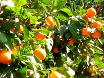 【車15分~】千倉オレンジセンター。10~4月までさまざまな柑橘フルーツ狩りが楽しめる。