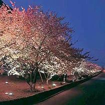 河津桜(正方形)