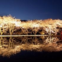 ◆【八坂湖畔桜】ダム湖沿いの桜並木はライトアップが人気