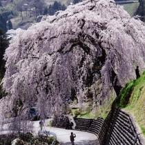 ◆【四美のしだれ桜】まるでシャワーのように桜の花が降り注ぐ