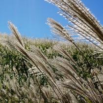 【箱根仙石原】黄金色に輝き、秋の風になびくすすき