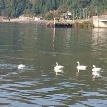 琵琶湖に冬の鳥たちが飛来しました。冬はすぐそこに。
